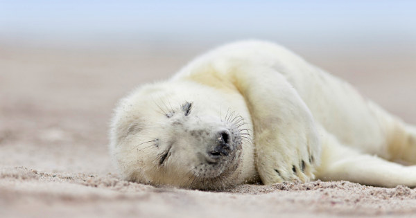 seal pup having a nap