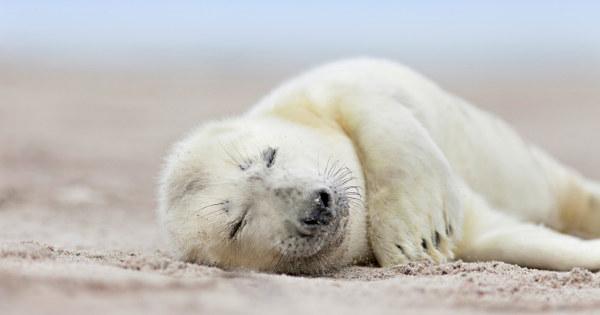 seal pup having a nap
